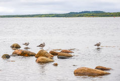 Three seagulls sitting on marine rocks. Royalty Free Stock Images