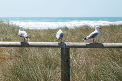 Three seagulls sitting on a pole at Pacific ocean, New Zealand Royalty Free Stock Photography