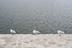 Three seagulls standind at the edge of stone embankment of Caspian Sea at Baku. A capital of Azerbaijan Royalty Free Stock Photos