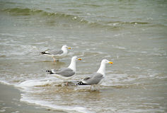 Three Seagulls. Standing on the beach, their feet in the sea Stock Photography