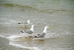 Three Seagulls Stock Photography