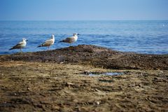 Three seagulls standing on the sea shore Stock Photo
