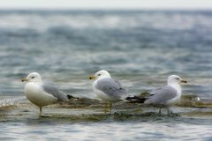 Three seagulls standing in shallow water on lake shore. Lake Michigan, Wisconsin. Black eyes. Yellow beaks. Grey and White bodies Stock Image
