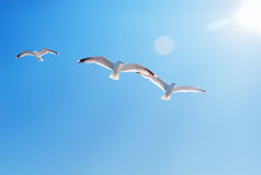Three seagulls and sun. Three seagulls high in the sky Royalty Free Stock Photo