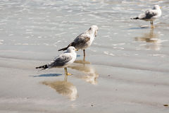 Three Seagulls in Surf. A group of seagulls on a beach with reflection Stock Photo