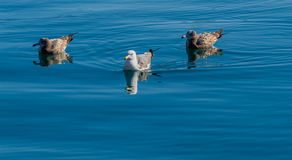 Three seagulls swimming together. Three seagulls swimming in an ocean of clear blue water Stock Photography