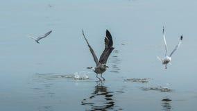 Three seagulls. Three seagulls flying on the sea stock image