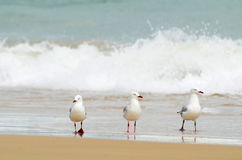 Three seagulls walking in water of surf beach royalty free stock images