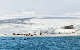 Three seals swimming by a group of eider ducks on floating iceberg at the base of a glacier Stock Photography