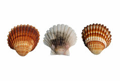 Three seashell Royalty Free Stock Image