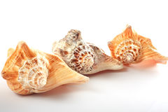 Three seashell in row Royalty Free Stock Photos
