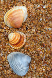 Three seashell on sand in sun day Royalty Free Stock Photo