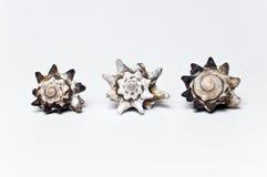 Three seashells. Three beautiful sea shells on white background Royalty Free Stock Photos