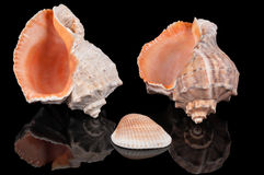 Three seashells on black Stock Images