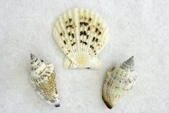 Three Seashells. A Display of Three Seashells on a White Background Royalty Free Stock Photos