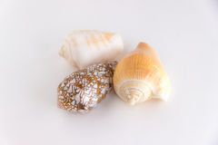 Three seashells  isolated Royalty Free Stock Image
