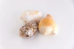 Three seashells isolated royalty free stock image