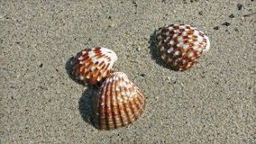 Three seashells. On the sand, close-up royalty free stock photo
