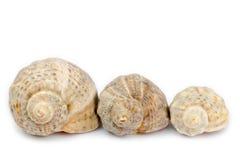 Rapana venosa shell Stock Image
