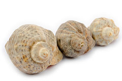 Three shells arranged diagonally on a white background Stock Photos