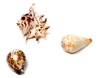 Three seashells on white. Three seashells isolated on white background with copy space Royalty Free Stock Image