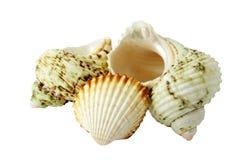 Three see shells Royalty Free Stock Photos