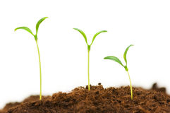 Three seedlings. Illustrating the concept of new life Stock Photography