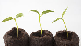 Three seedlings Stock Images