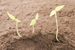 Three seedlings in soil Stock Photography