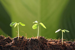 Three Seedlings in vegetable garden. Royalty Free Stock Image