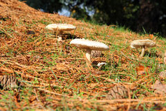 Three separate fungi in pine needles. Stock Images