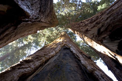 Three sequoia trees Stock Photos