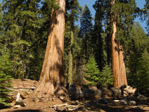 Three sequoias. Two sequoias guarding a fallen one in Mariposa Grove, Yosemite Royalty Free Stock Image