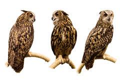 Three set of Eurasian Eagle Owl perched on a branch isolated on. Three set of  Eurasian Eagle Owl perched on a branch isolated on white background with clipping Stock Photo