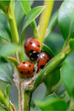 Three 7 spotted Coccinella septempunctata ladybirds grouped together near the branch stem of green shrub foilage royalty free stock images