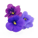 Three shade of violets. Three violets with different shade of violet over white background stock image