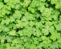 Three shamrock leaves. In a clover patch royalty free stock image