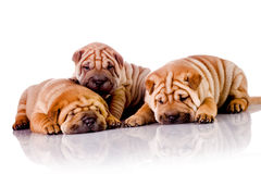 Three Shar Pei baby dogs Royalty Free Stock Photo