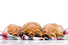 Three Shar Pei baby dogs Royalty Free Stock Photos
