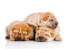 Three Shar Pei baby dogs Stock Photos