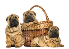 Three Sharpei puppies , sitting, lying Stock Image