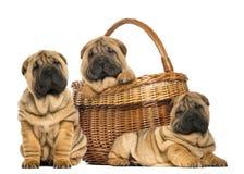 Three Sharpei puppies , sitting, lying stock image