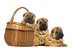 Three Sharpei puppies, sitting, lying and put in a wicker basket Royalty Free Stock Photos
