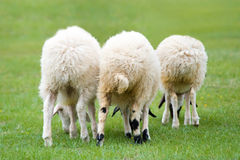 Three sheep. Three white grazing lambs from back view royalty free stock photos