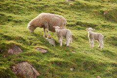 Three sheep Royalty Free Stock Photos