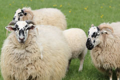Three sheep Stock Photos