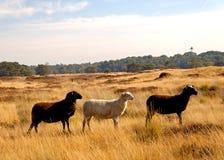 Three sheep Royalty Free Stock Photos