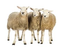 Free Three Sheep Against White Background Stock Photography - 131683572