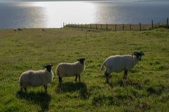 Three sheep Stock Photo