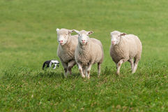 Three Sheep Being Herded Royalty Free Stock Photos